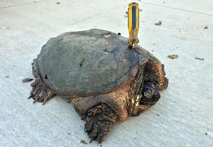 tortuga-atacada-destornillador-recuperada-tuttle (3)