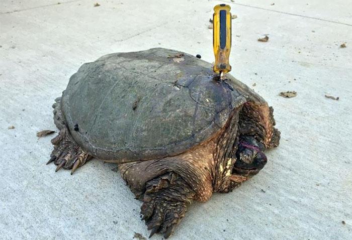 Esta tortuga anciana fue atacada con un destornillador, pero se negó a rendirse