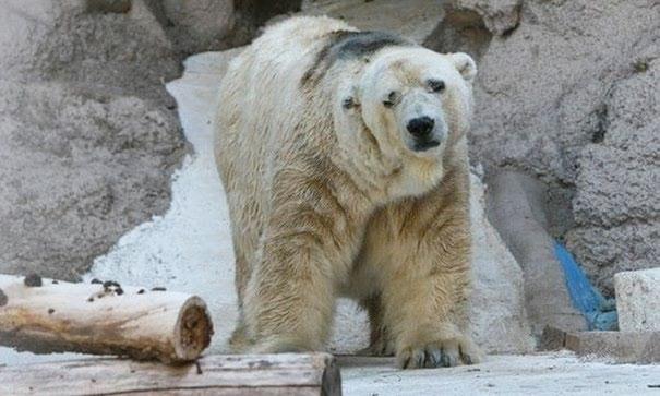 fallece-arturo-oso-polar-zoo-mendoza-argentina (1)