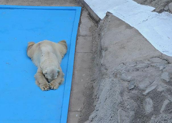 fallece-arturo-oso-polar-zoo-mendoza-argentina (2)