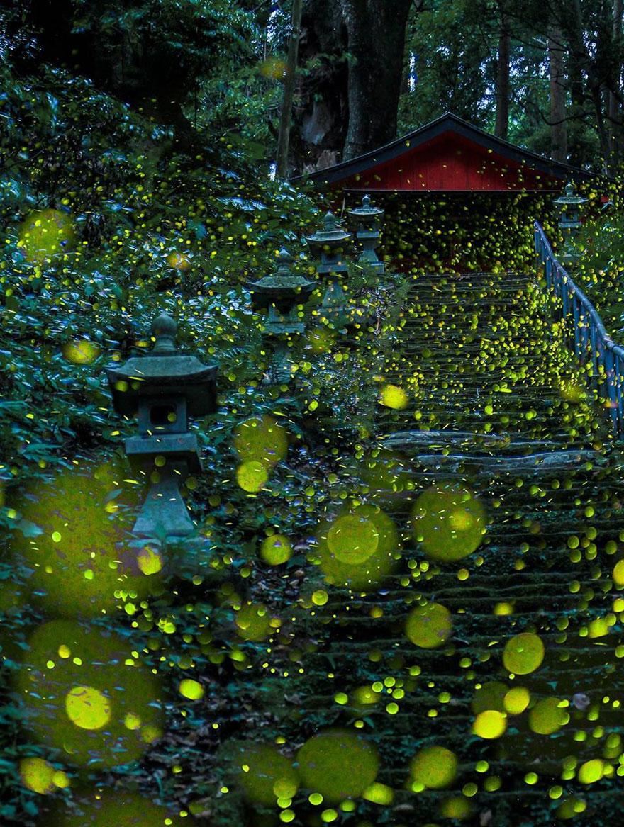 fotos-luciernagas-japon-verano-2016 (1)