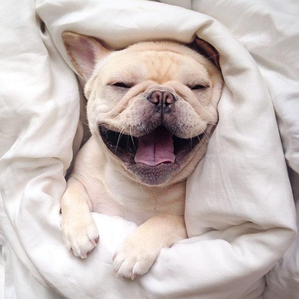 perro-narcoleptico-adorable-milo (1)