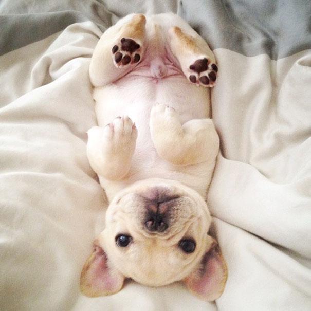 perro-narcoleptico-adorable-milo (2)