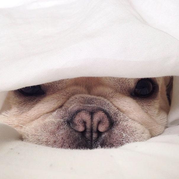 perro-narcoleptico-adorable-milo (6)