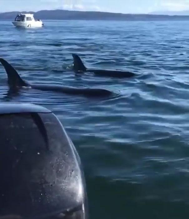 foca-barco-huida-orcas-canada (2)