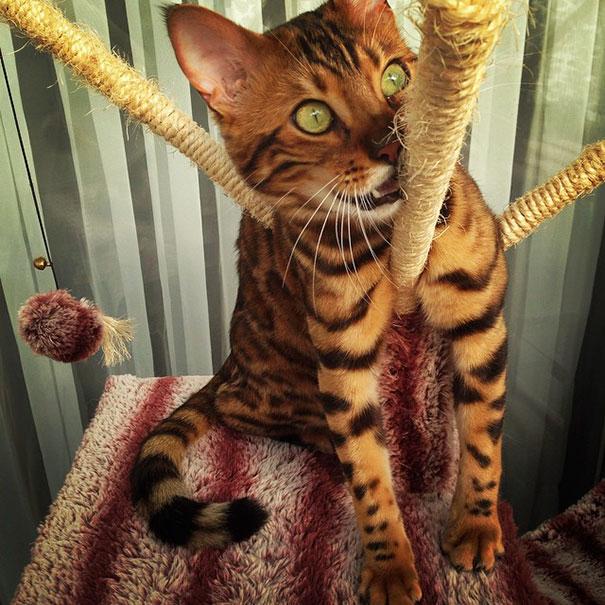 gato-bengala-thor-instagram (1)