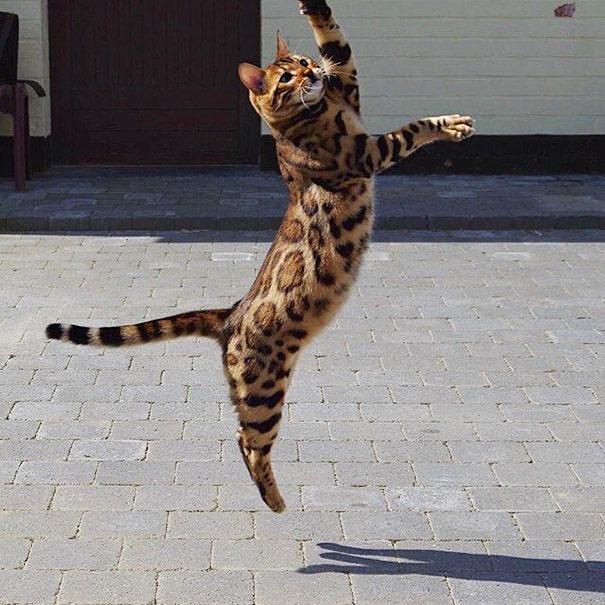gato-bengala-thor-instagram (2)