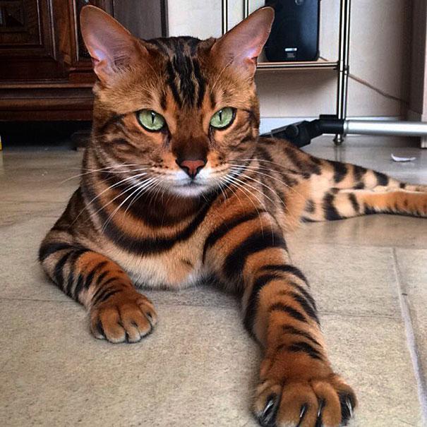 gato-bengala-thor-instagram (3)