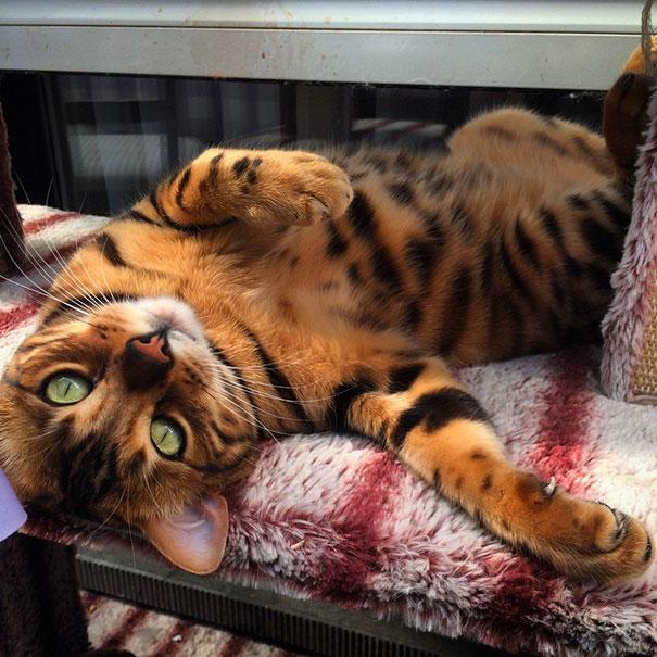 gato-bengala-thor-instagram (4)