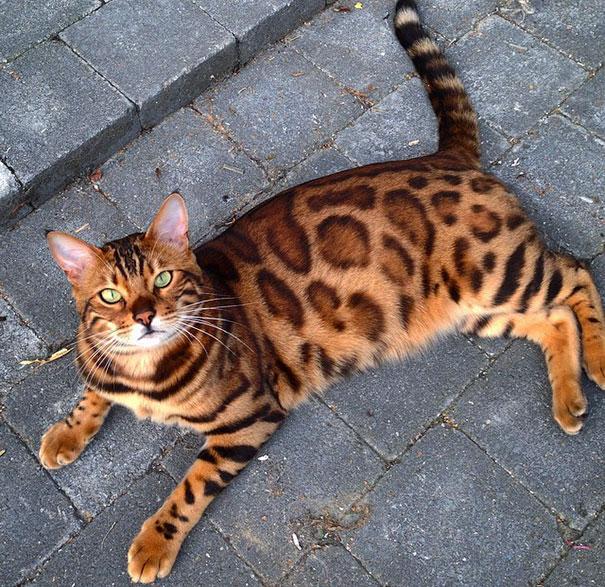gato-bengala-thor-instagram (5)