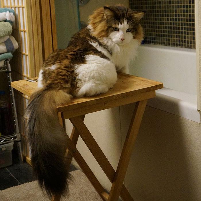 gato-gigante-maine-coon-samson-jonathan-zurbel-nueva-york (2)
