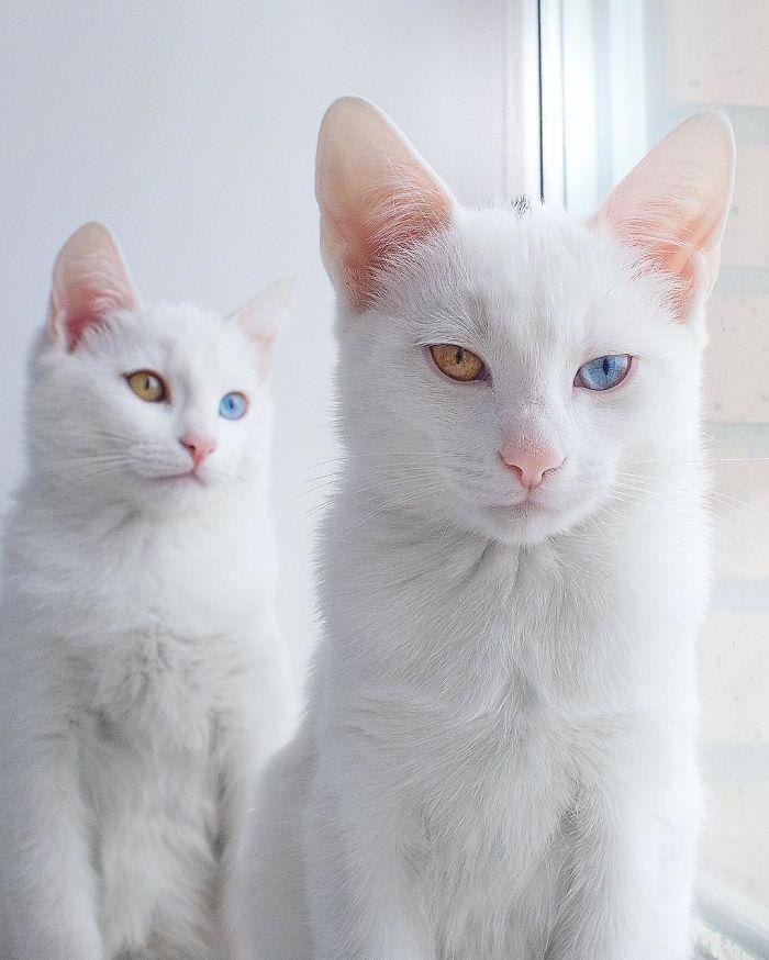 gatos-gemelos-ojos-heterocromaticos-iriss-abyss (1)