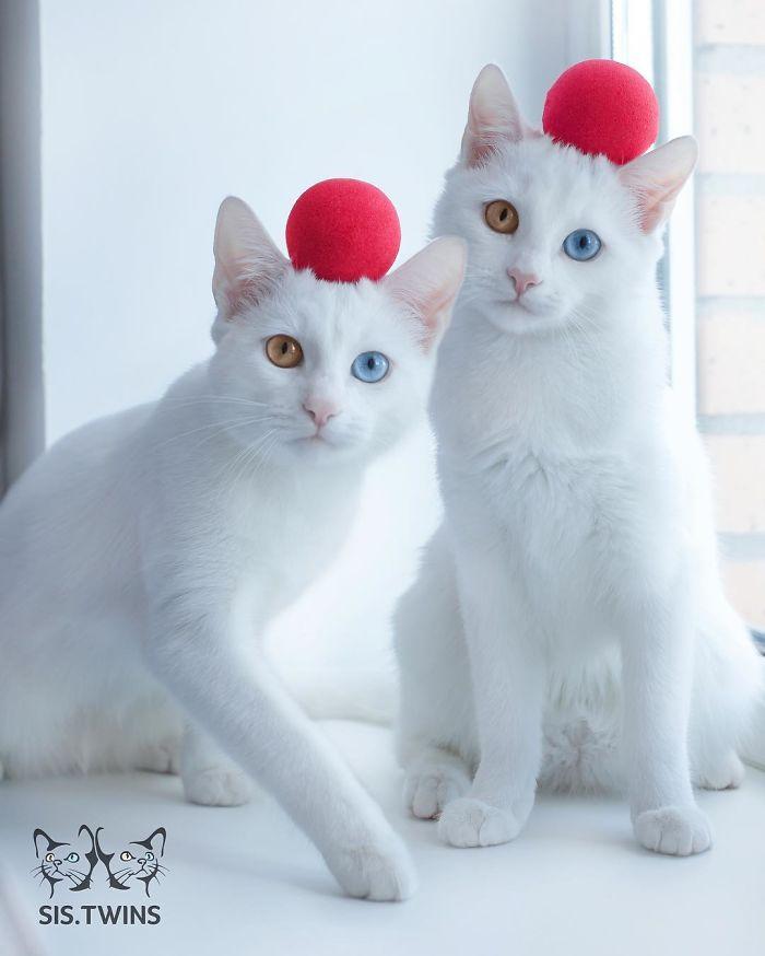 gatos-gemelos-ojos-heterocromaticos-iriss-abyss (10)
