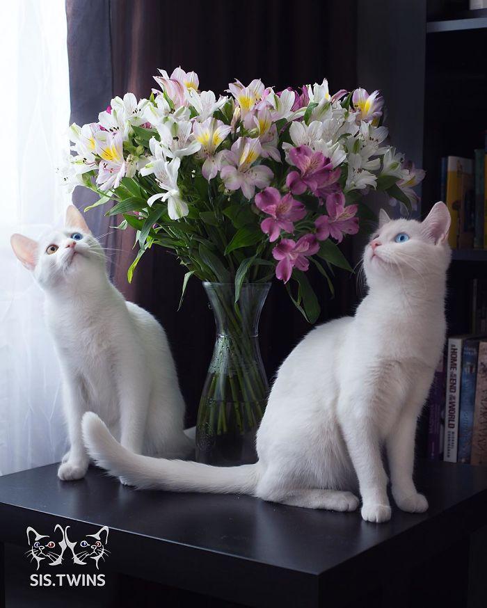 gatos-gemelos-ojos-heterocromaticos-iriss-abyss (11)