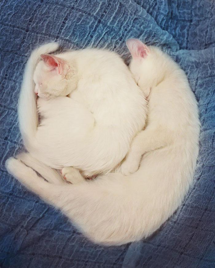 gatos-gemelos-ojos-heterocromaticos-iriss-abyss (12)