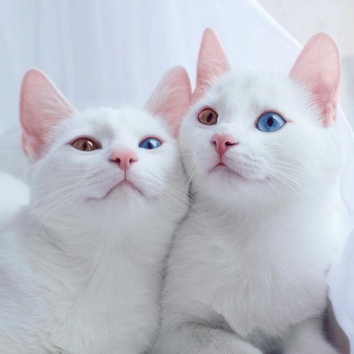 gatos-gemelos-ojos-heterocromaticos-iriss-abyss (2)