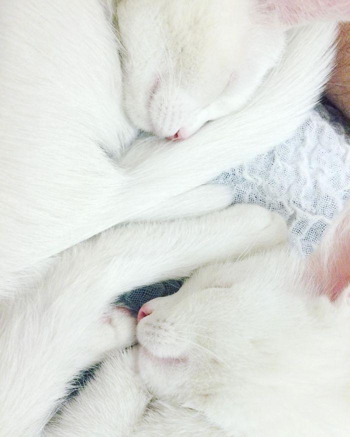 gatos-gemelos-ojos-heterocromaticos-iriss-abyss (4)