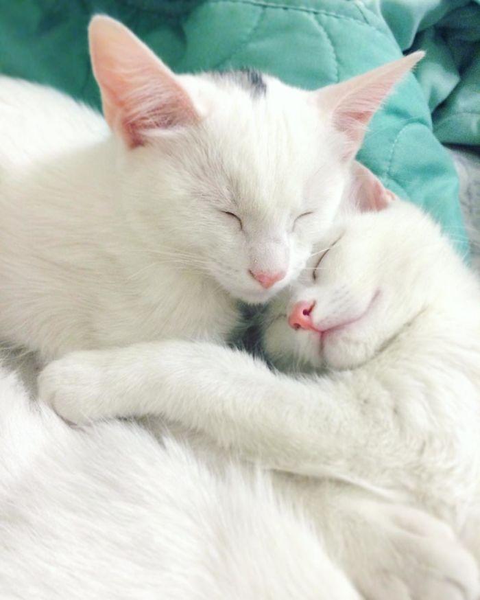 gatos-gemelos-ojos-heterocromaticos-iriss-abyss (6)