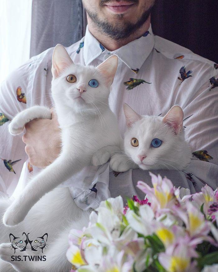 gatos-gemelos-ojos-heterocromaticos-iriss-abyss (9)