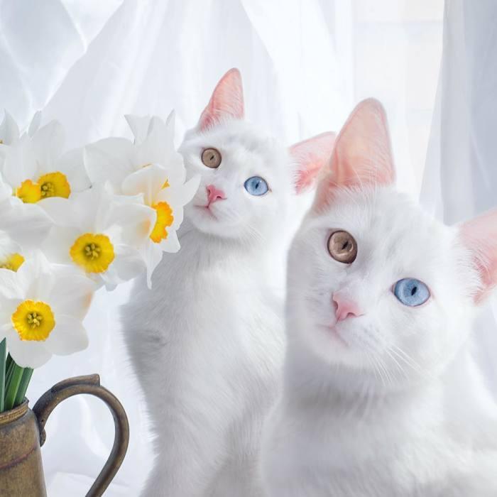 Estos son los gatos gemelos más hermosos del mundo