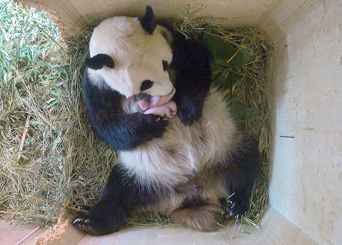 panda-gigante-yangyang-oseznos-gemelos-zoo-schonbrunn-austria (1)