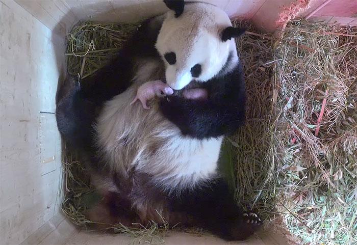 panda-gigante-yangyang-oseznos-gemelos-zoo-schonbrunn-austria (2)