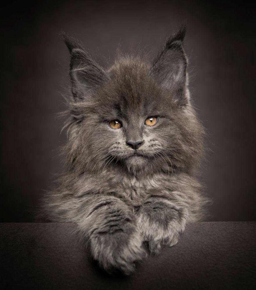 retratos-gatos-maine-coon-robert-sijka (4)