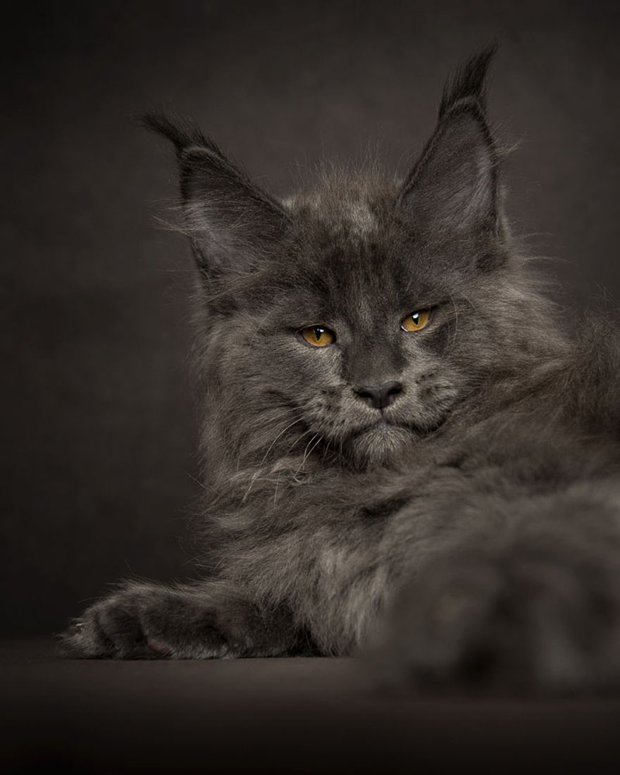 retratos-gatos-maine-coon-robert-sijka (6)