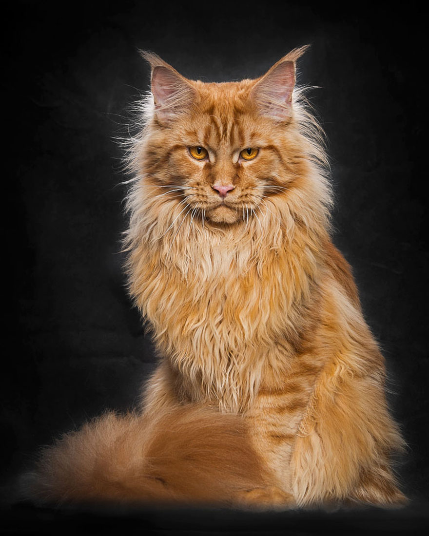 retratos-gatos-maine-coon-robert-sijka (7)