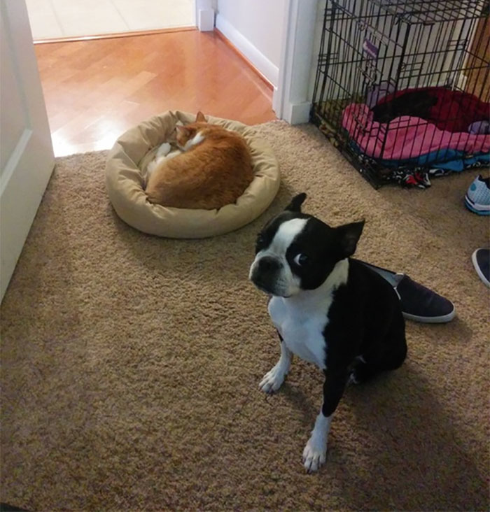 gatos-robando-cama-perros (2)