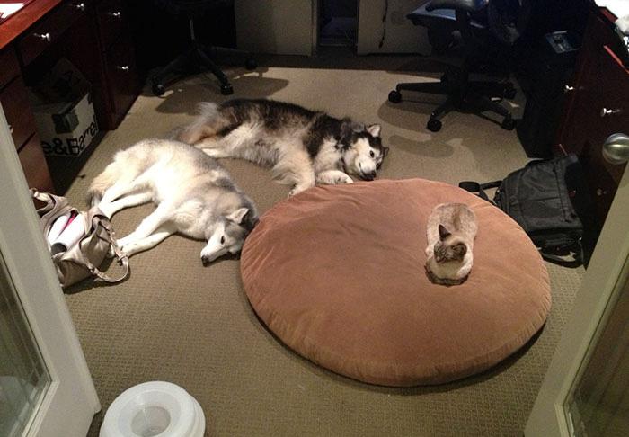 10 Gatos malvados robando la cama a los perros sin importarles un comino
