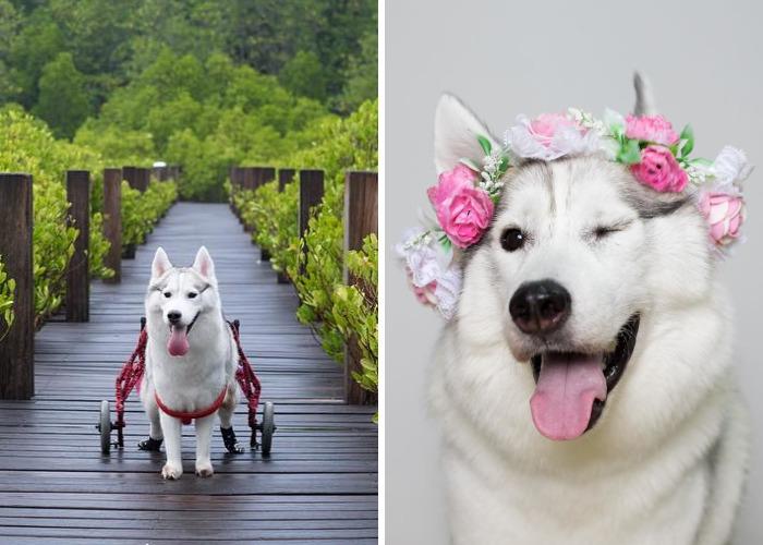 Adoptan a esta husky nacida sin garras y se convierte en el perro más feliz en silla de ruedas