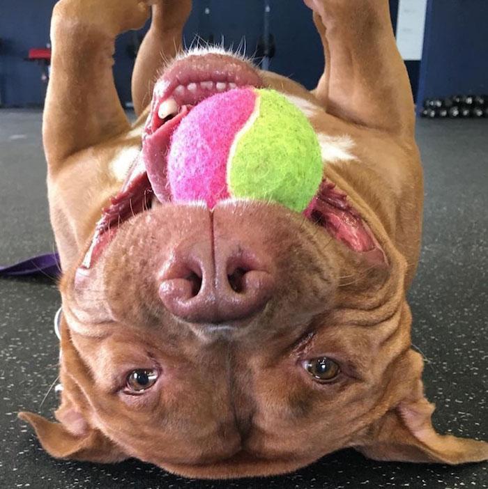 perro-pitbull-rescatado-sonrisa-instagram-meaty (2)