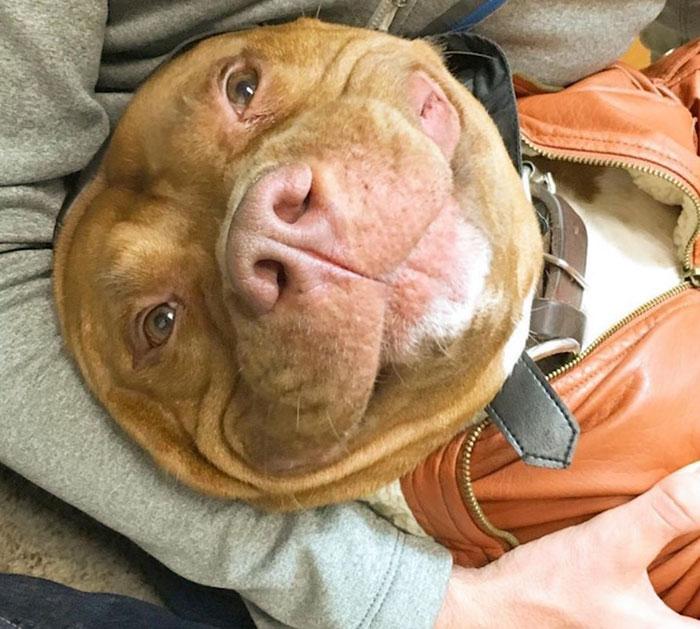 perro-pitbull-rescatado-sonrisa-instagram-meaty (3)