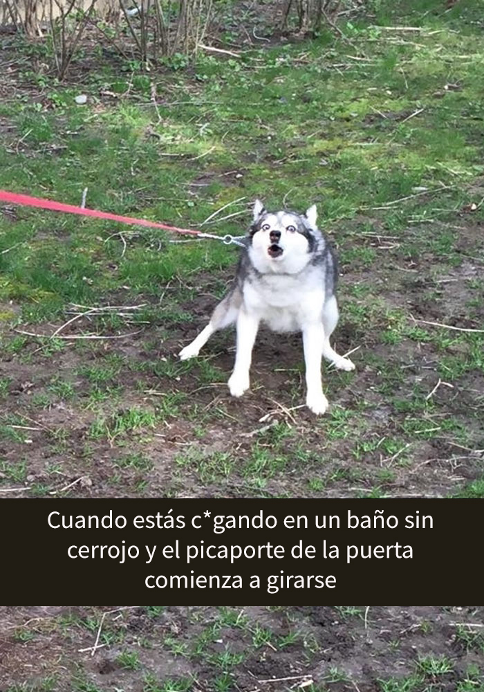 humor-perros-husky-1