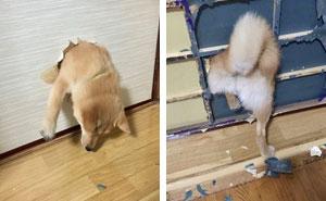 21 Veces Los Shibas Probaron Que Son Los Perros Más Guay De Todos Los Tiempos