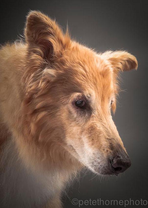viejo-fiel-retratos-perros-pete-thorne-12