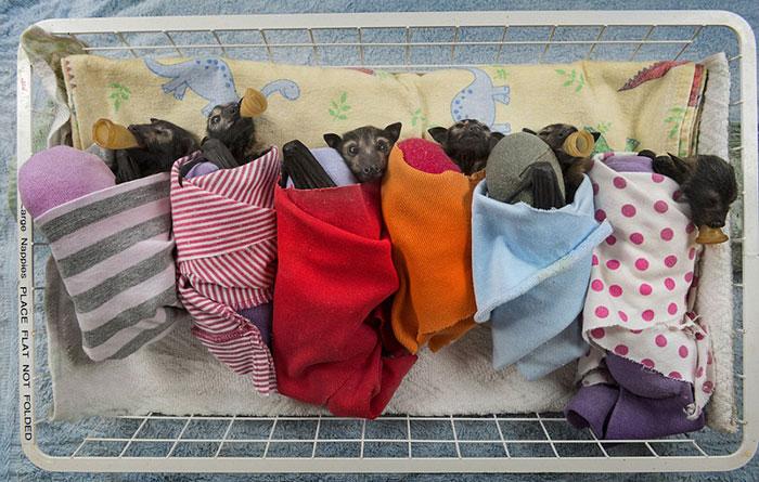 Hospital Para Murciélagos En Australia Acoge A Crías Enfermas