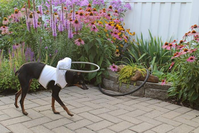 halo-seguridad-perros-ciegos- (12)