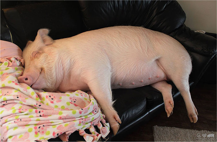 Esta pareja pensaba que había adoptado un mini cerdo, pero se convirtió en 300 kilos de ternura