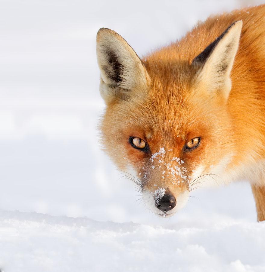 zorros-rojos-nieve-roeselien-raimond- (12)