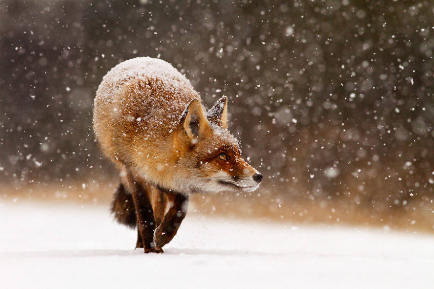 zorros-rojos-nieve-roeselien-raimond- (9)