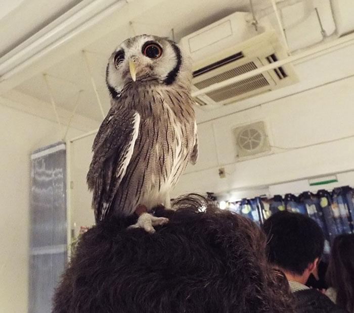 La apertura de un bar de búhos en Londres servirá para recaudar fondos y protegerlos