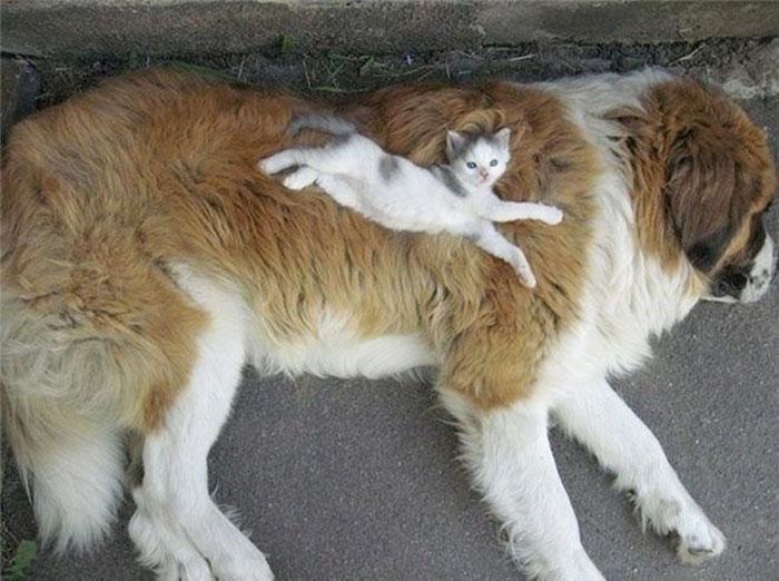 21 Gatos que prefieren usar a los perros como almohadas