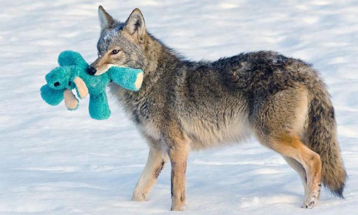 Este coyote encuentra un juguete y demuestra que los animales salvajes son tan juguetones como las mascotas