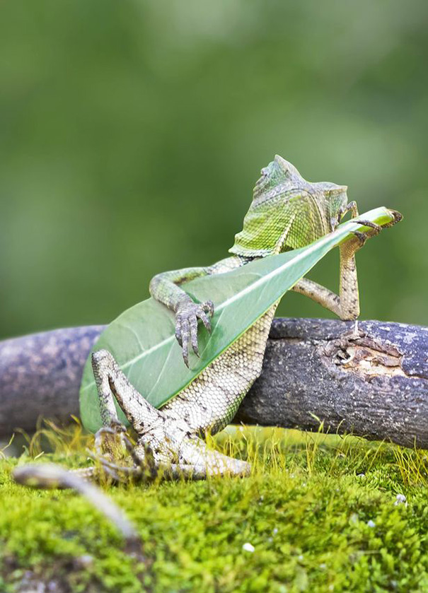 lagarto-tocando-guitarra-hoja-aditya-permana-indonesia (1)