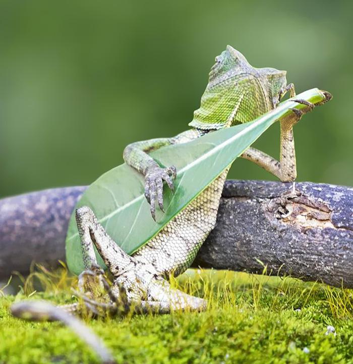 Este lagarto fue pillado tocando una hoja-guitarra en Indonesia
