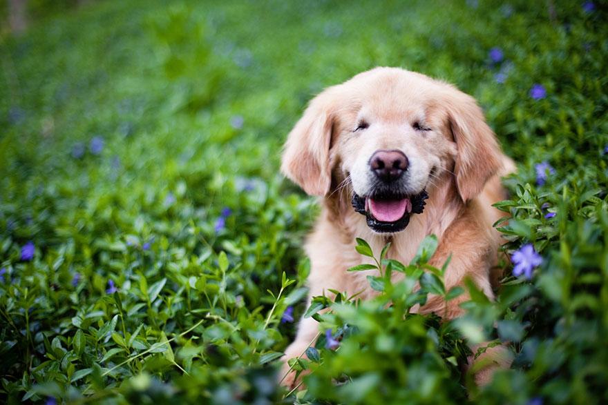 perro-ciego-terapia-smiley-stacey-morrison (3)