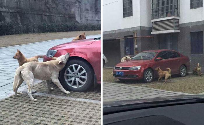 Un conductor golpea a un perro callejero y este vuelve con amigos a destrozarle el coche