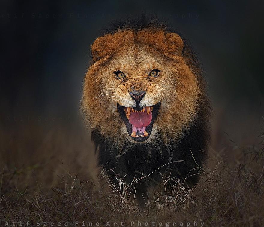 Un fotógrafo toma fotos de un león enfurecido unos segundos antes de que le atacara